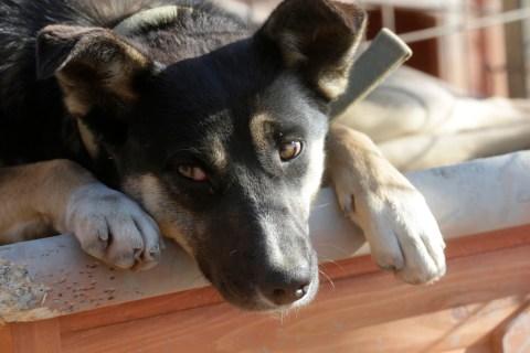 Dog looks on at a private dog shelter in Baranovka near Sochi