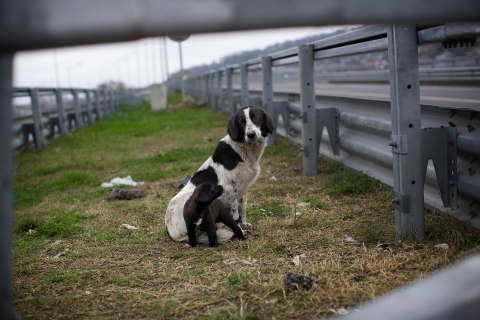 A stray dog and its puppy sit behind the railings in the middle of a highway outside Sochi, Nov. 28, 2013.